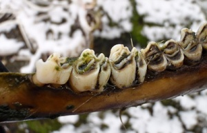 Reindeer teeth look like this.